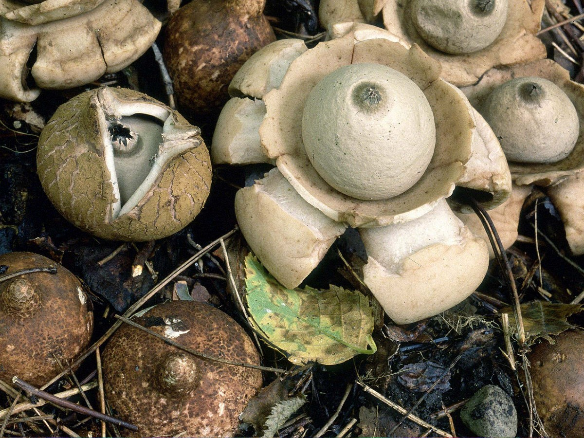 Earthstar Puffball